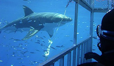Diving With Sharks - � Shark Diver
